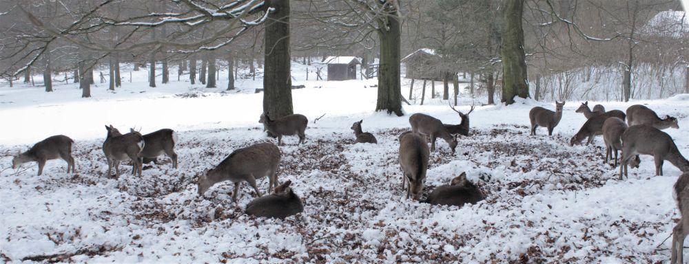 Rehwild in winterlicher Landschaft