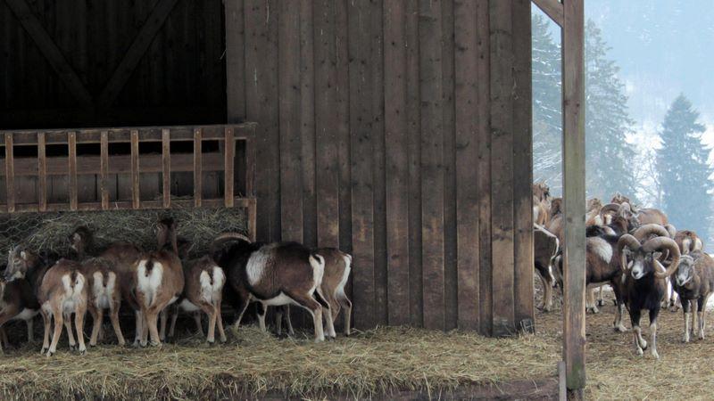 Muffelwild im Gebirge des Wildtierparks Neuhaus, Niedersachsen