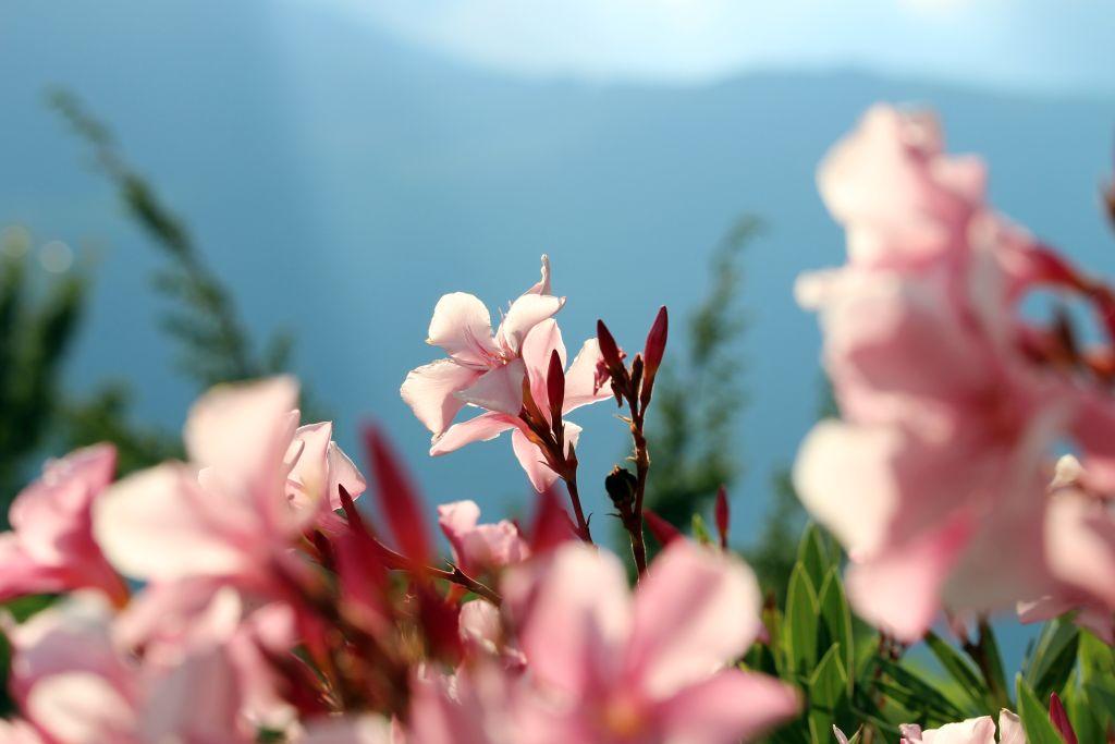 Blütenpracht am Linderhof in Südtirol