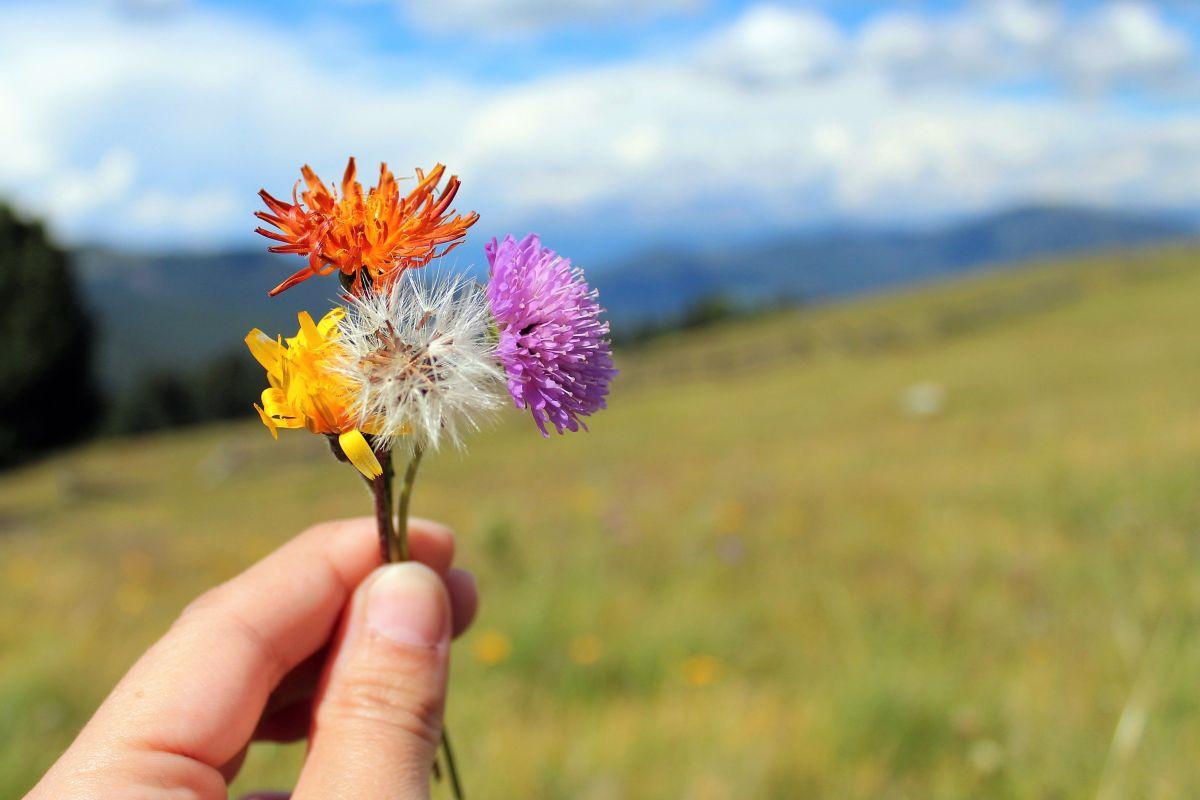 Habichtskraut und Acker - Witwenblume