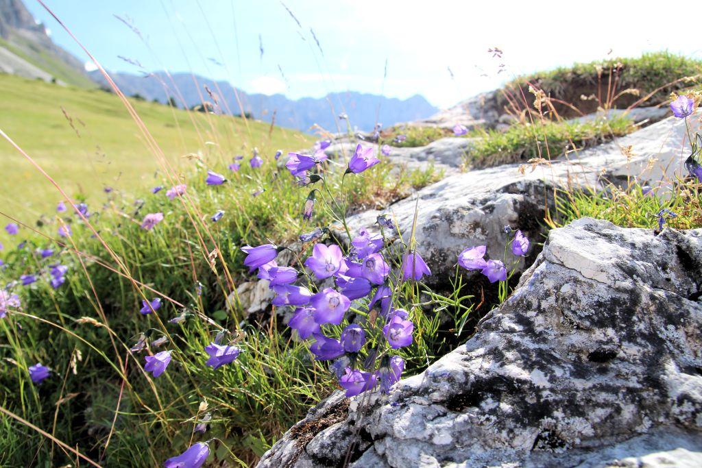 Karpaten-Glockenblume in Südtirol