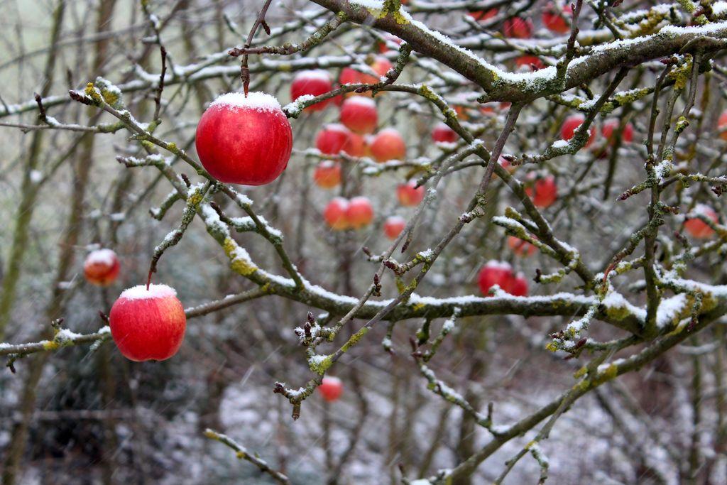 Äpfel bedeckt von leise herabgerieselter Schneemäntelchen.
