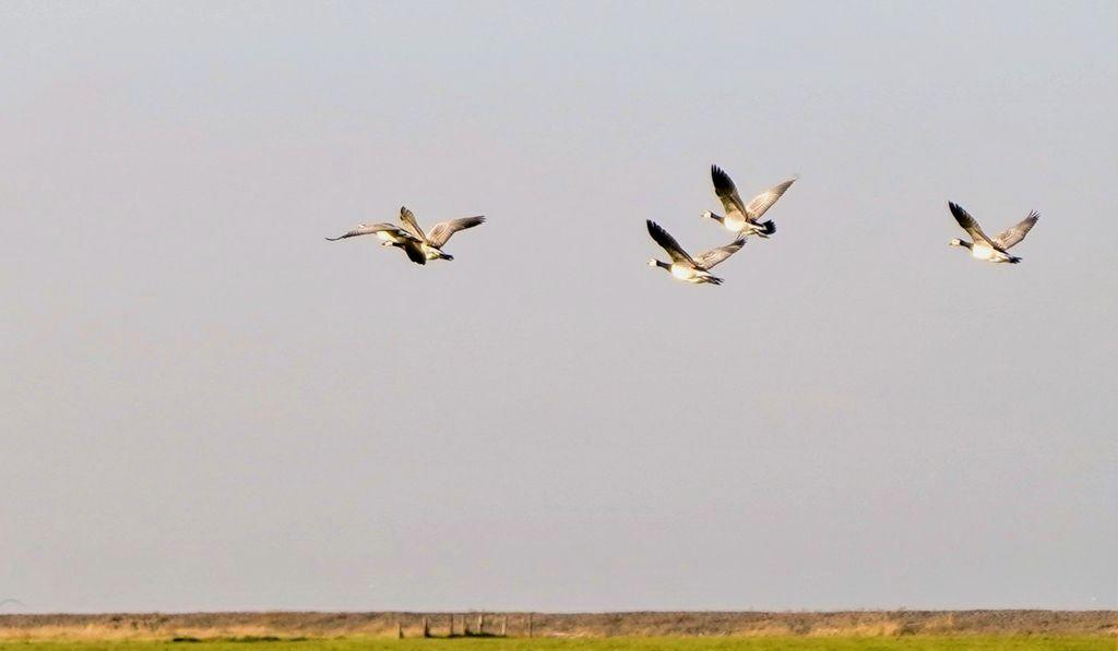 Vogelvielfalt Föhr: Nonnengänse im Herbst