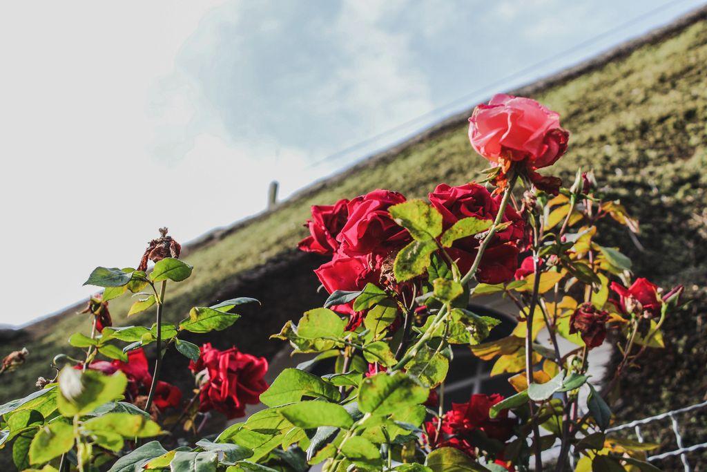Herbstrosen der Ferienwohnung Tesje auf Föhr